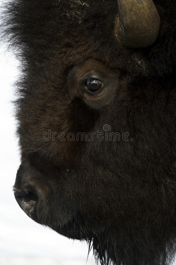 Amerikansk bison i snö, slut upp arkivfoto