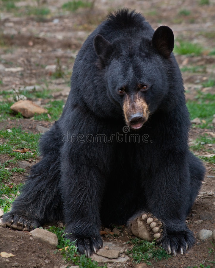 amerikansk björnblack arkivbilder