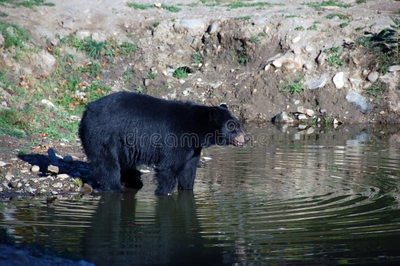 amerikansk björnblack royaltyfria foton