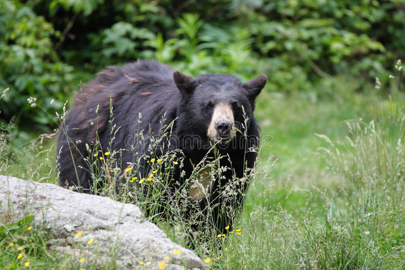 amerikansk björnblack norr carolina royaltyfri bild