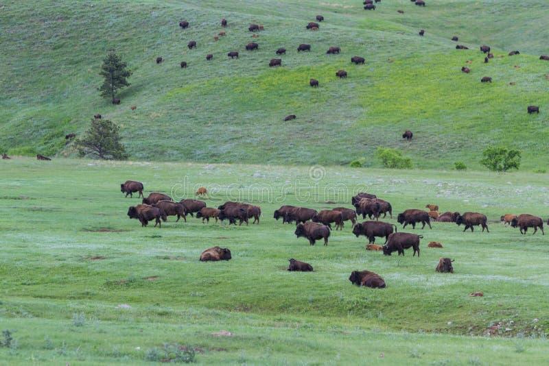 amerikansk buffel fotografering för bildbyråer