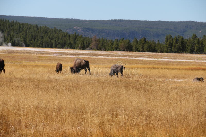 Amerikansk buffel för bison i en äng vid lägre handfat av den Yellowstone nationalparken arkivbilder
