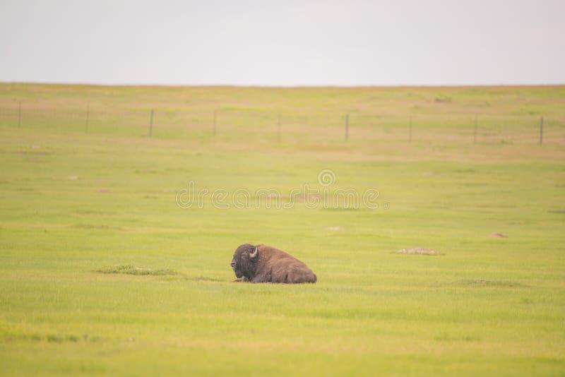 Amerikansk buffel som isoleras i ett grönt grässlättfält med en horisont för molnig himmel i Badlandsnationalparken arkivbild