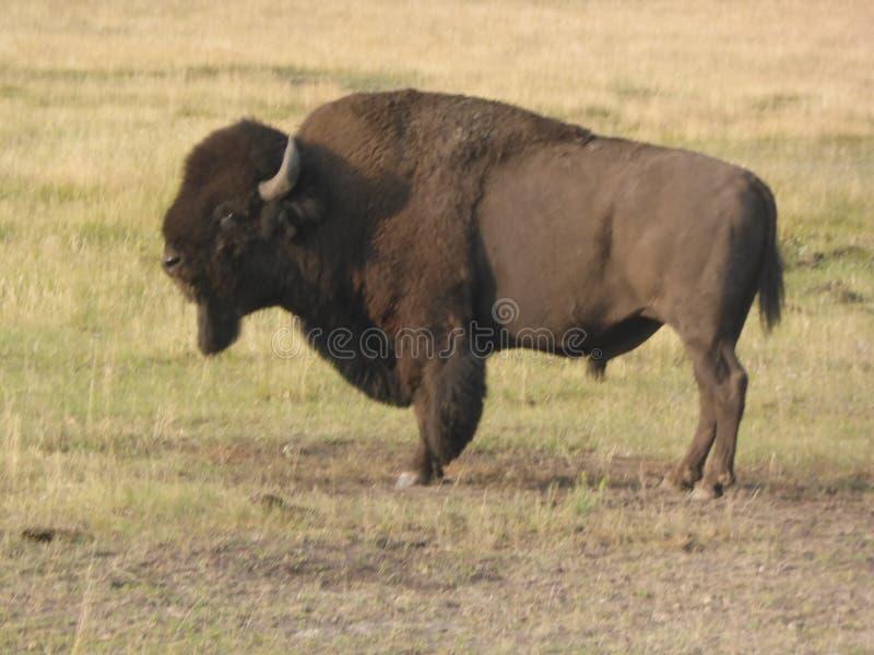Amerikansk buffel som sammanlagt profileras av hans härlighet och majestät royaltyfri bild