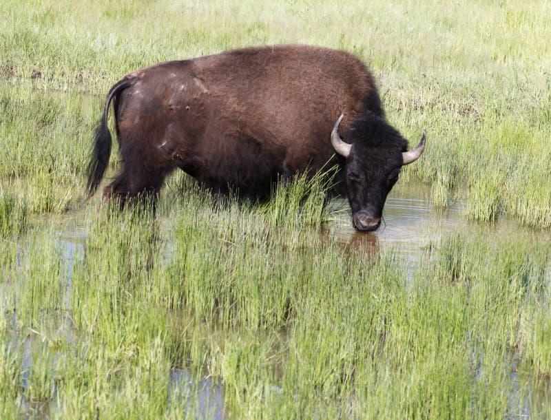 Amerikansk buffel som tar ett dopp i vattnet royaltyfri foto