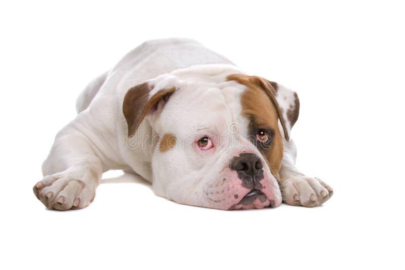 amerikansk bulldogg royaltyfri bild
