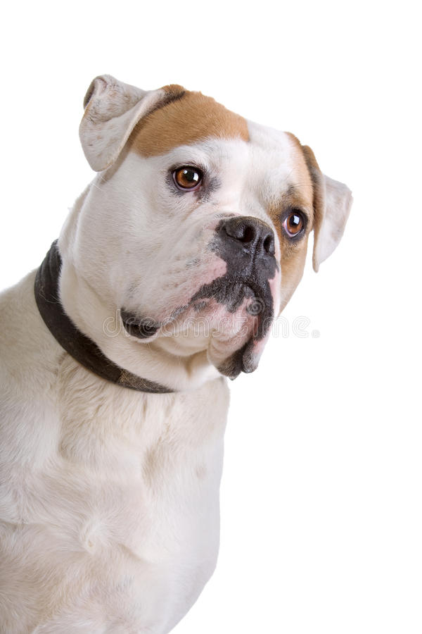 amerikansk bulldogg arkivfoto