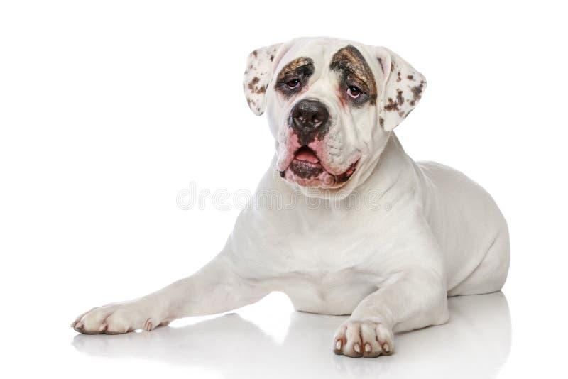 amerikansk bulldogg royaltyfri fotografi