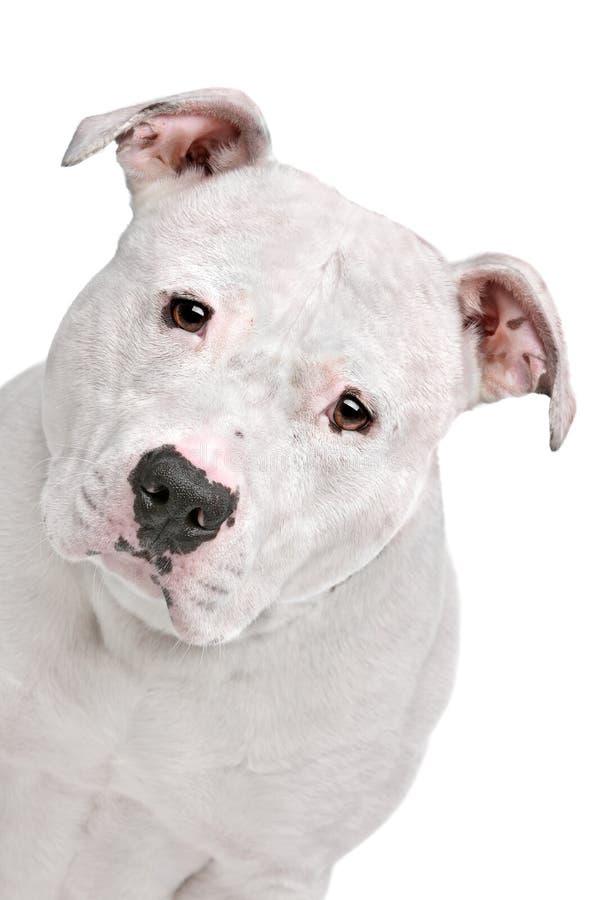 Amerikansk bulldogg royaltyfria foton