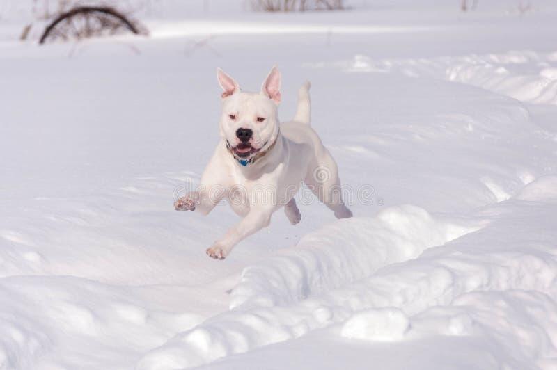 Amerikansk bulldoggspring i snö fotografering för bildbyråer