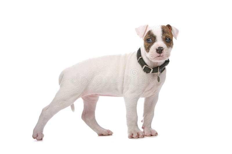 amerikansk bulldoggvalp royaltyfria foton
