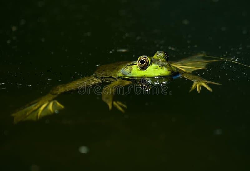 amerikansk bullfrog fotografering för bildbyråer