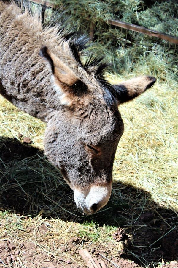 amerikansk burro arkivfoto