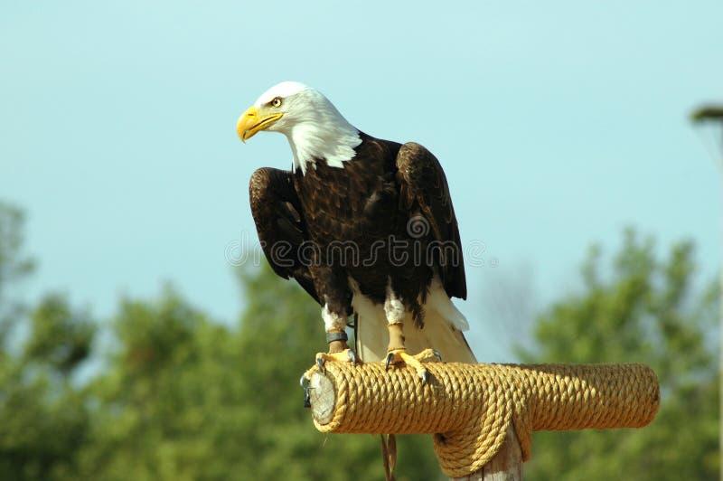Download Amerikansk förebild fotografering för bildbyråer. Bild av intressera - 44155
