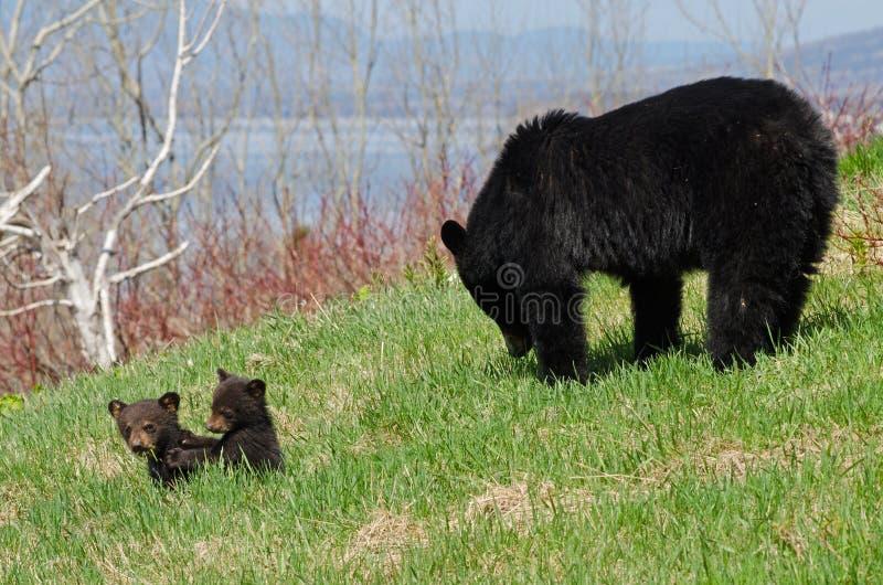 Amerikansk familj för svart björn royaltyfri fotografi