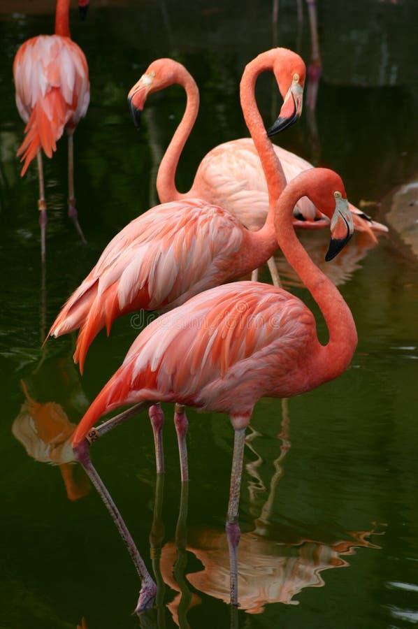 amerikansk flamingo royaltyfri bild