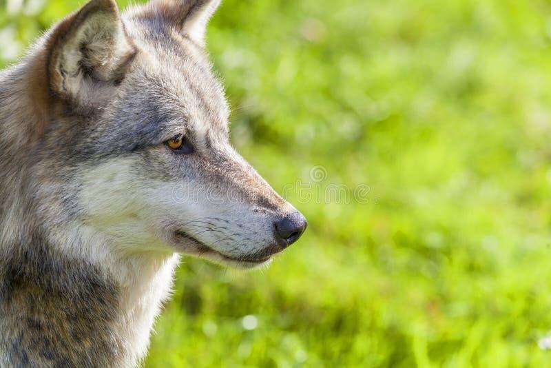 amerikansk grå norr wolf royaltyfria foton
