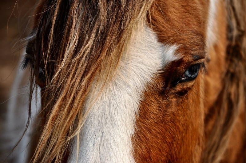 amerikansk hästmålarfärg royaltyfri foto