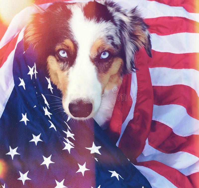 amerikansk hund royaltyfri foto