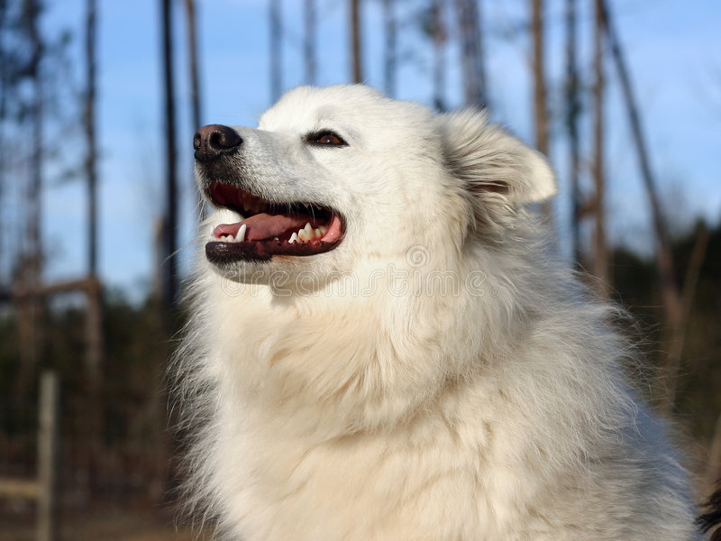 amerikansk hundeskimo royaltyfria foton