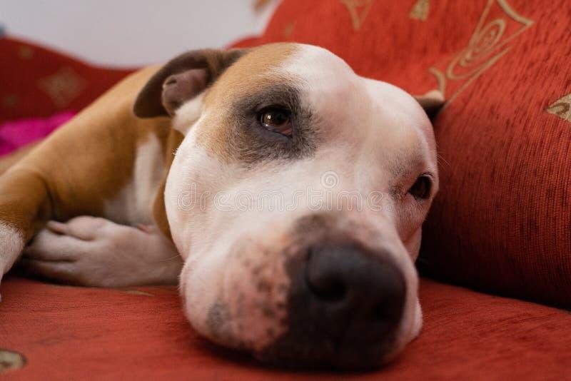 amerikansk hundstaffordshire terrier royaltyfri bild