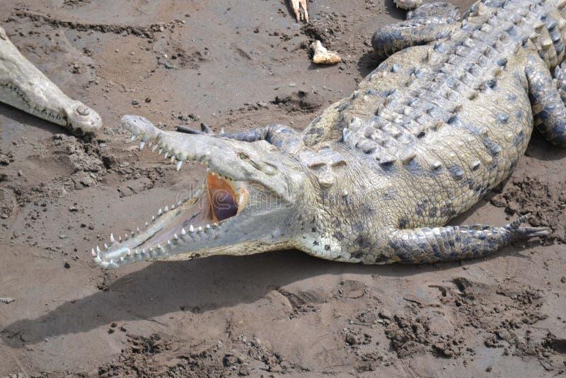 amerikansk krokodil arkivfoto