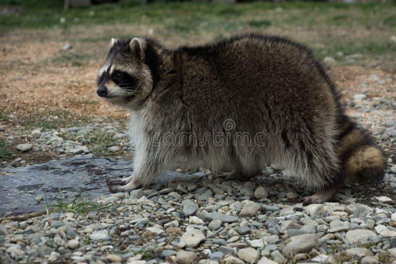 amerikansk norr raccoon fotografering för bildbyråer