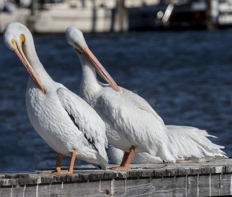 amerikansk pelikanwhite royaltyfri bild
