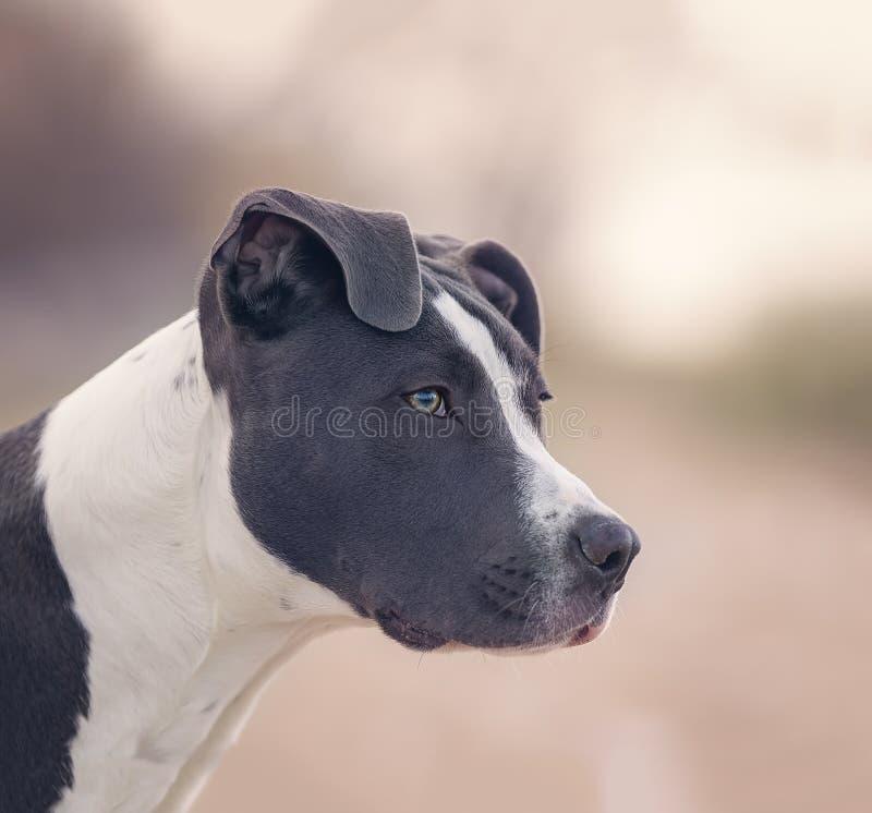 Amerikansk pitbullterrier arkivfoton