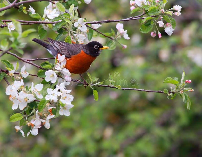 amerikansk robin