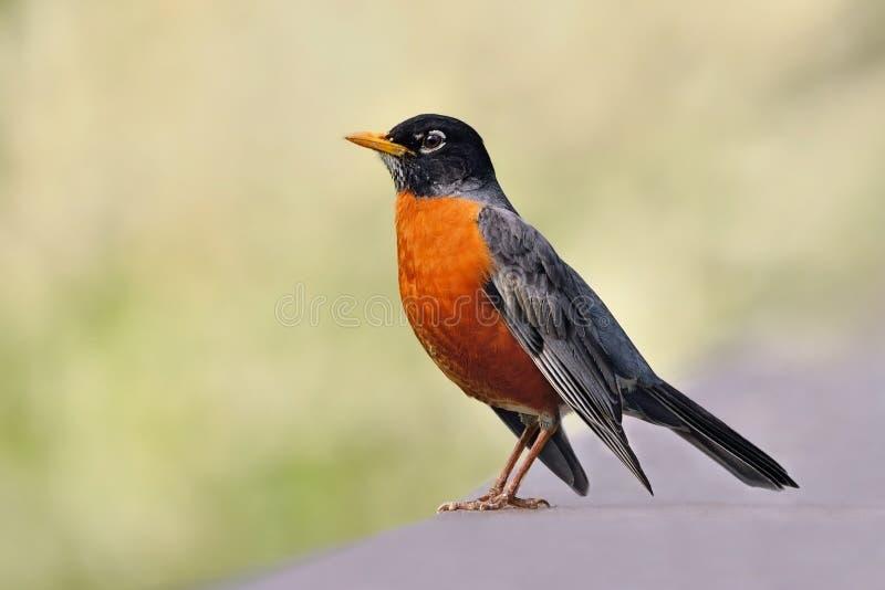 amerikansk robin arkivfoto