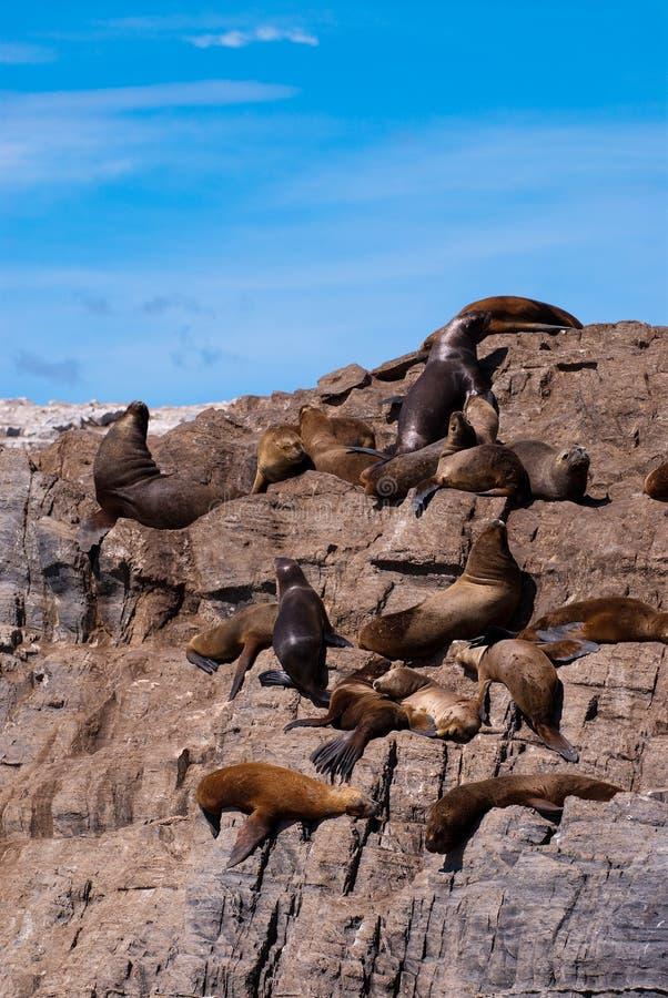 amerikansk södra ushuaia för kolonipälsskyddsremsa royaltyfri foto