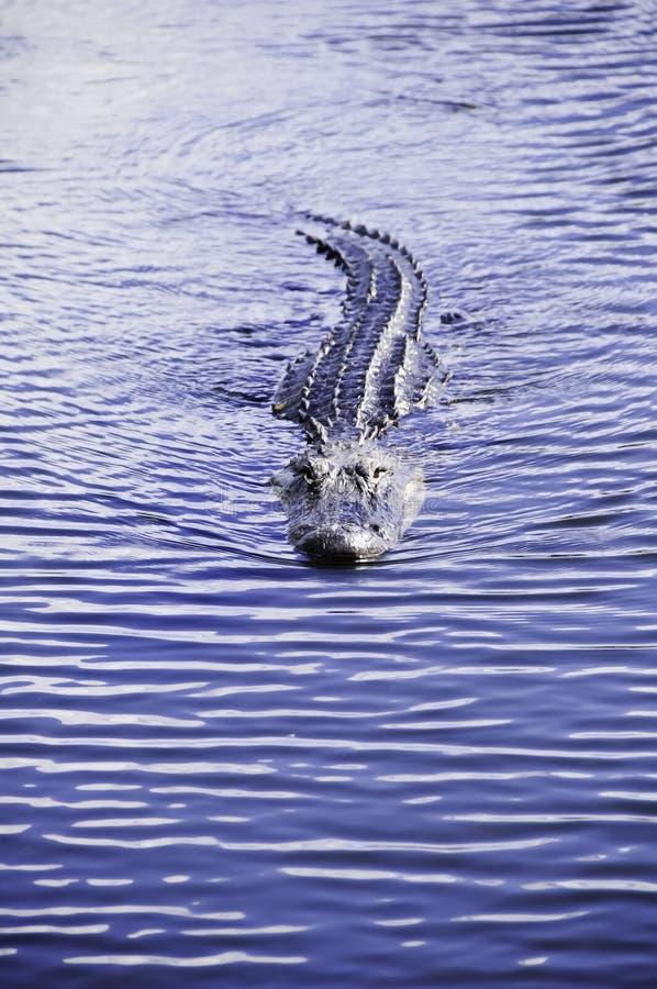 amerikansk simning för alligator arkivbild
