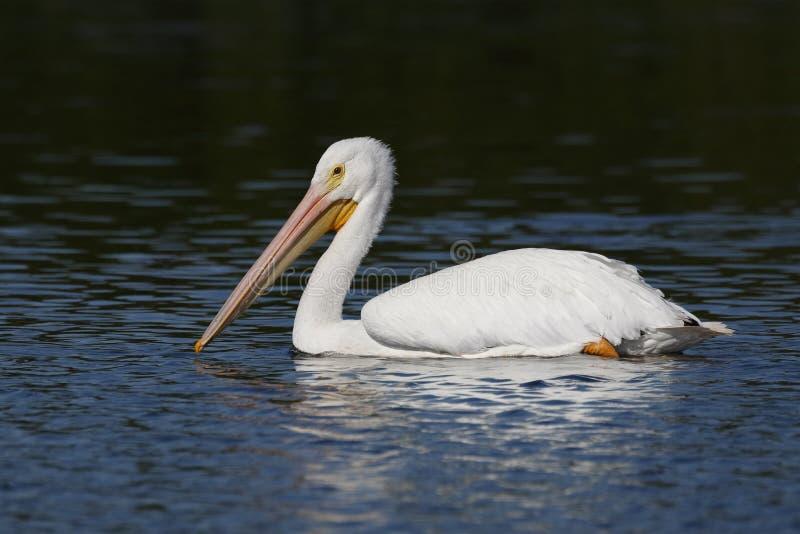 Amerikansk simning för vit pelikan i en Florida lagun royaltyfria bilder