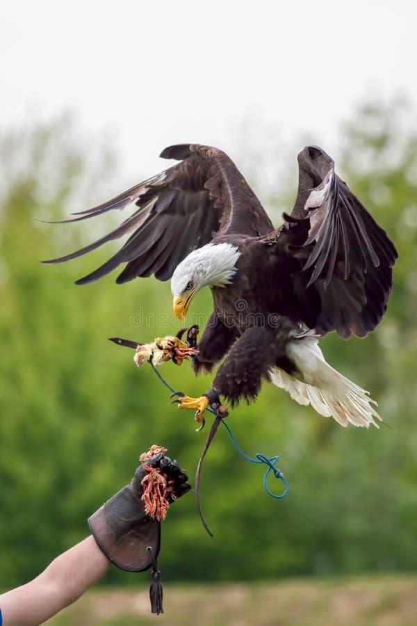 Amerikansk skallig örn med falkeneraren Fågel av rovet på falkenerarkonstdisp arkivfoto