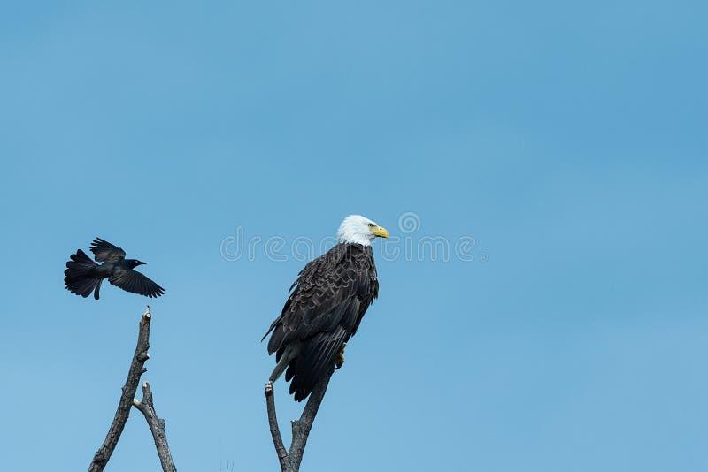 Amerikansk skallig örn och den svarta fågeln royaltyfri fotografi