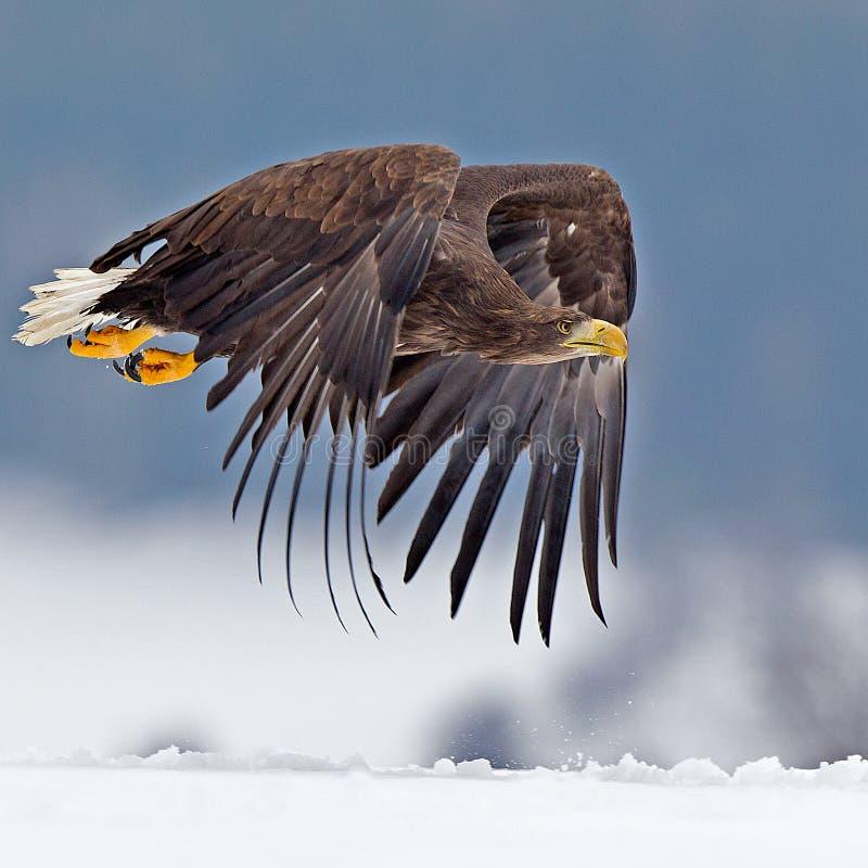 Amerikansk skallig örn som skjuta i höjden mot klar blå alaskabo himmel royaltyfri bild