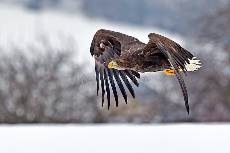 Amerikansk skallig örn som skjuta i höjden mot klar blå alaskabo himmel arkivfoton