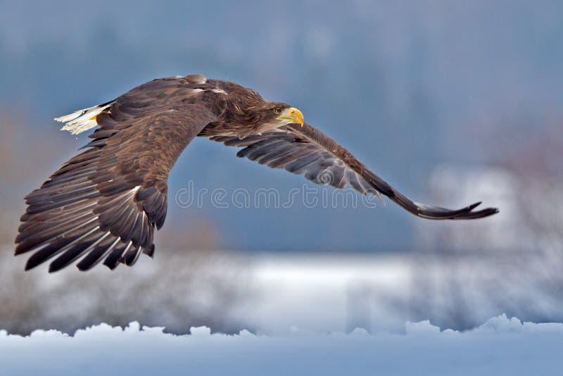 Amerikansk skallig örn som skjuta i höjden mot klar blå alaskabo himmel arkivbild