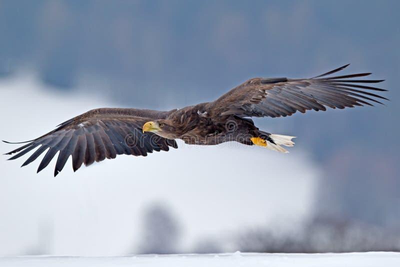 Amerikansk skallig örn som skjuta i höjden mot klar blå alaskabo himmel royaltyfria bilder