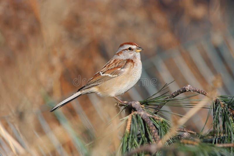 amerikansk sparrowtree royaltyfria bilder