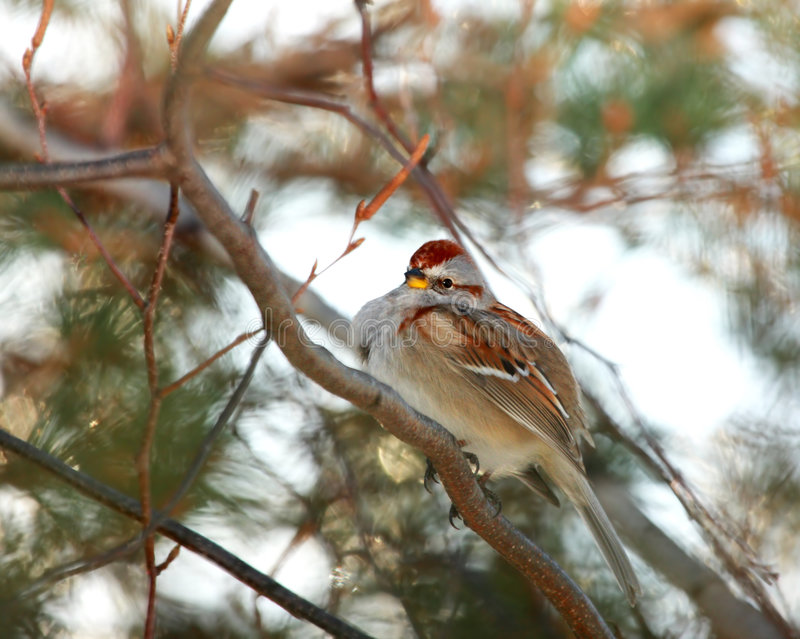 amerikansk sparrowtree royaltyfri fotografi