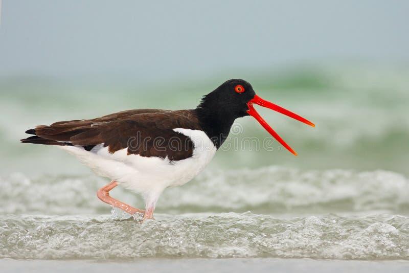 Amerikansk strandskata, Haematopuspalliatus, vattenfågel i vågen, med den öppna röda räkningen, Florida, USA arkivbild