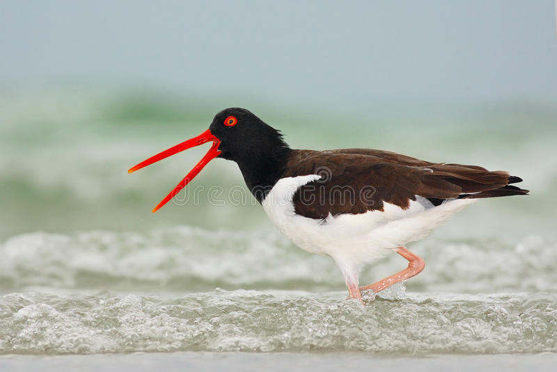 Amerikansk strandskata, Haematopuspalliatus, vattenfågel i vågen, med den öppna röda räkningen, Florida, USA royaltyfria bilder
