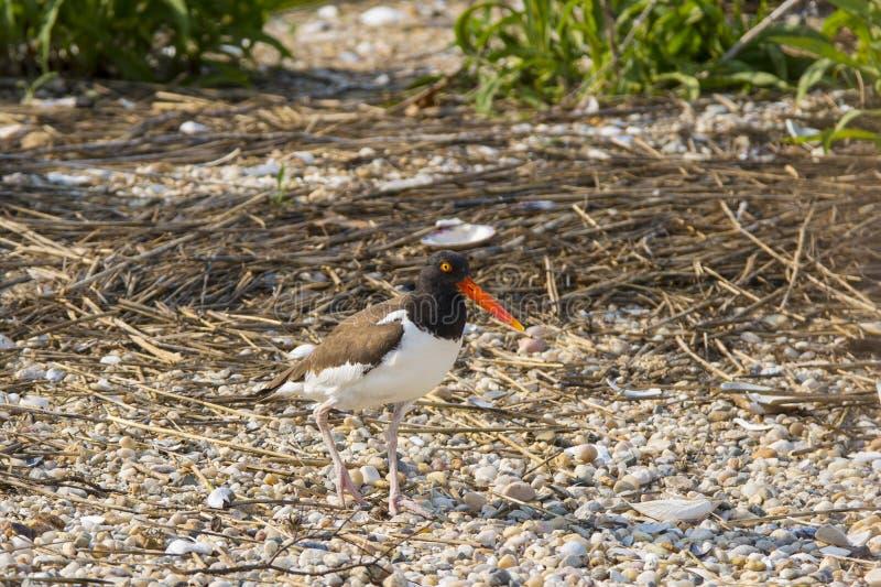 Amerikansk strandskata på skal och kiselstenar arkivfoto