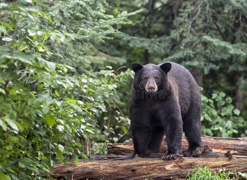 Amerikansk svart björn fotografering för bildbyråer