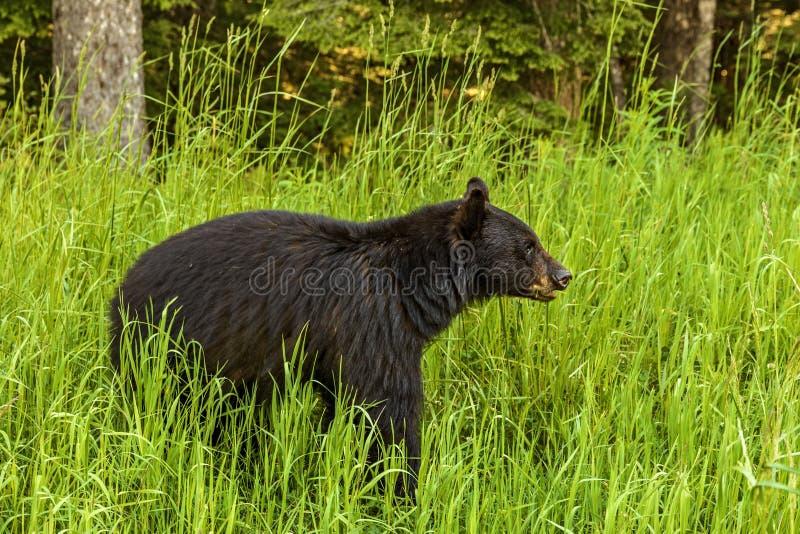 Amerikansk svart björn & x28; Ursusamericanus& x29; arkivbild