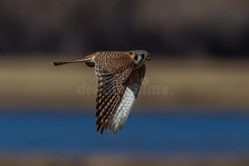 Amerikansk tornfalk Falco Sparverius New Mexico arkivbilder