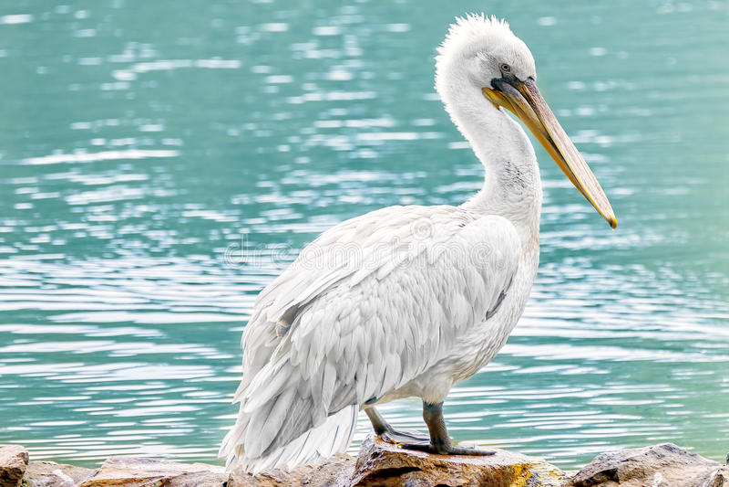 Amerikansk Vit-pelikan arkivfoton