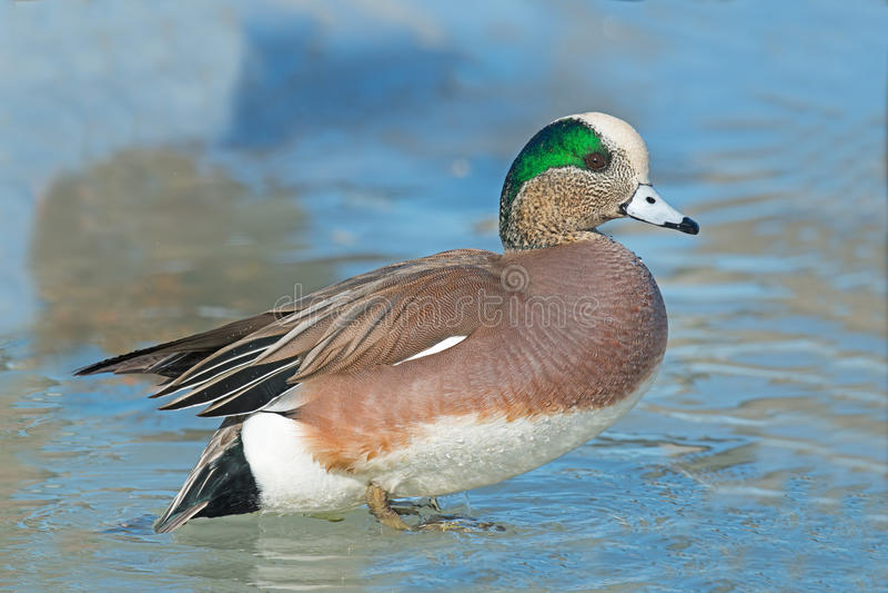 Download Amerikansk Wigeon fotografering för bildbyråer. Bild av natur - 37347125